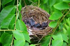 Baby birds in Bird's nest - stock photo