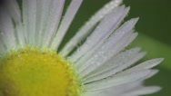 Stock Video Footage of Drop drew in White flower camomile macro field