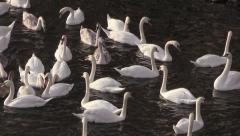 Flock of Migrating Mute Swans Stock Footage