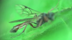 Housefly fly macro setting in green leaf, insect 4k Stock Footage