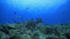 Coral reef with Butterflyfish and Surgeonfish Stock Footage