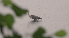 Stock Video Footage of Heron bird onpond eats reptiles, Crane