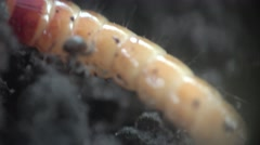 Larvae small and determined grub Stock Footage