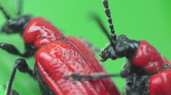 Red bug, insects beetle macro Lilioceris merdigera 4k Stock Footage
