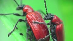 Red bug, insects beetle macro Lilioceris merdigera 4k Stock Footage