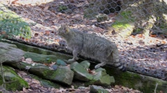 4K footage of a Wildcat in the Bayerischer Wald National Park, Germany - stock footage