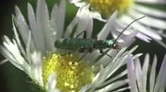 Spanish fly Insect  beetle bug macro sitting on flower white daisy Stock Footage