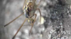 Crane Fly mosquito insect macro 4k Arkistovideo