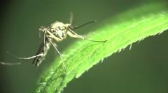 Mosquito insect macro sitting on green leaf in forest, on field, in garden Stock Footage