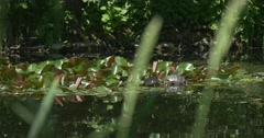 Walking Tortoise on Island of Glossy Green Circular Lilies' Leaves in The Pond Stock Footage