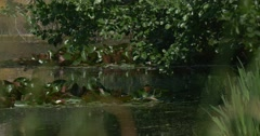 Stock Video Footage of Tree's Branches Upon The Swampy Pond, Lilies' Leaves, Swaying