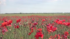 Field of red poppies agricultural plants after flowering. poppy field.  4k Stock Footage