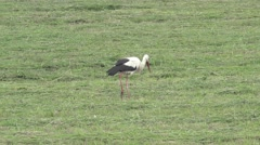 Storks walk on green field collect food insects, reptiles and rodents - stock footage