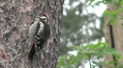 Woodpecker thick branch of acacia, bird Stock Footage