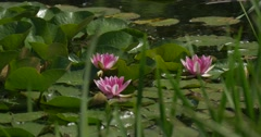 Water Lilies on The Pond, Pink Blossom, Flowers, Lilies,Closeup Stock Footage