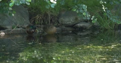 Two Mallards, Wild Ducks At The Shallow Water Stock Footage