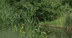 Overgrown Pond, River, Reed on the Banks Stock Footage