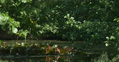 Stock Video Footage of Swampy Pond in The Park, Water Lilies' Leaves Closeup