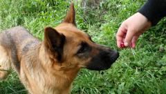 German Shepherd Eat Cherry Slow Motion Stock Footage