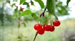 Red And Sweet Cherries On A Branch Slow Motion Stock Footage