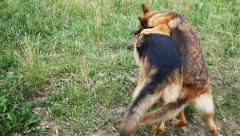 Two German Shepherd In The Yard Slow Motion Stock Footage
