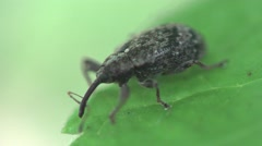 Weevil beetle macro sitting on green leaf 4k - stock footage
