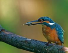 Stock Photo of Common Kingfisher tossing the fish before swallowing down