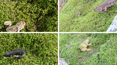 Amphibia toad, frogs and newt triton on moss. Video collage. Stock Footage