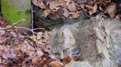 4K footage of a Wildcat (Felis silvestris) Stock Footage
