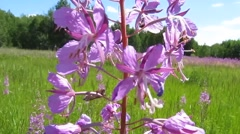 Bees collect nectar and pollen from fireweed - stock footage