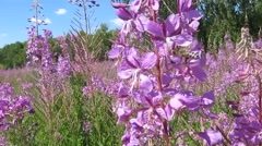 Bees collect nectar and pollen from fireweed Stock Footage