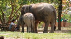 The mahout is treating a young elephant and its mother in the elephant village Stock Footage