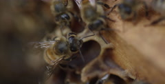 Honey Bees in the Hive - Macro shot of individuals - stock footage