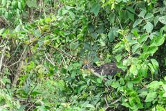 Hoatzin Bird Stock Photos
