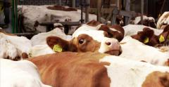 Close up curious red and white cow interior 4K - stock footage