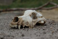 Stock Photo of Skull of Dog