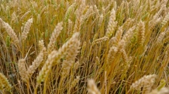 Slowly move the camera. Ripe wheat. Rich harvest. Stock Footage