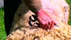 Man shearing sheeps with scissors in hand at the summer Stock Footage