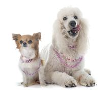 standard poodle and chihuahua - stock photo
