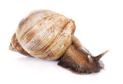 Giant African snail Stock Photos