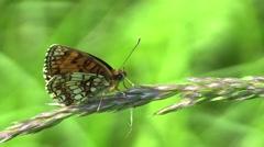 Wild Heath Fritillary (Melitaea athalia) Stock Footage