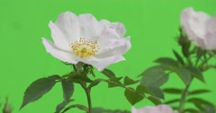 White Roses and Buttons on The Bush Closeup, Fluttering Stock Footage