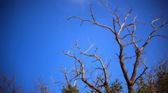 Dead dry branches of a tree in a field against the sky and the remains of living Stock Footage