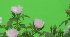 Rose Bush White Flowers Are Fluttering Stock Footage