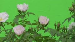 Bumblebee Upon the Rose Bush, Flowers, Buttons - stock footage