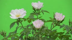 Upper Part of Rose Bush With White Petals of Roses, Windy Stock Footage
