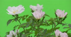 Upper Part of Rose Bush with White Roses, Windy Stock Footage