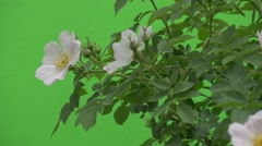 Stock Video Footage of White Flowers of Rose Bush Closeup, Draft