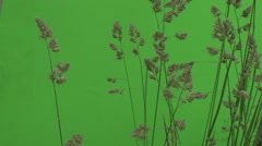 Apera, Weed, Windgrass Wavering on the Draft Stock Footage