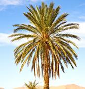 Palm in the  desert oasi morocco sahara africa dune Stock Photos